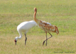 Whooping Crane photo of Parent and colt. Lamar Texas