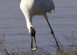 Whooping Crane Photo - Aransas National Wildlife Refuge.