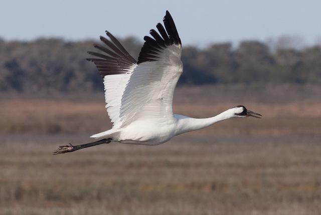 Whooping Crane Identification